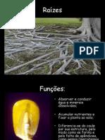 Biologia PPT - Botânica - Raízes