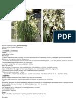 Brassavola.pdf