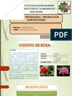 Cultivo de Rosa