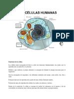 Celula Humana Ana