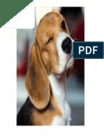 beagle 3