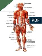 Sistema muscular cuerpo humano