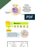 Fases de Meiosis 1