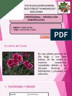 Cultivo del clavel