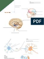 Neuron and Brain Labeling Homework 9.17
