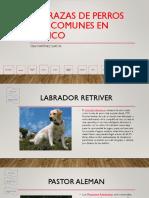 Las Razas de Perros Más Comunes en México