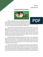 Perkembang Biakan Ikan Sumatra
