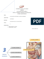 Anatomia Glandulas