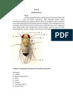 Morfologi Droshopilla Sp
