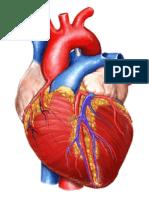 gambar jantung print.doc