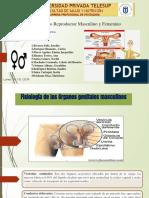 Organos Genitales Ppt 2