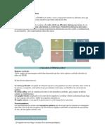 Áreas Del Cerebro y Sus Funciones