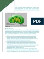 Struktur Dan Fungsi Kloroplas