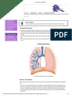 Lung Structure _ BioNinja