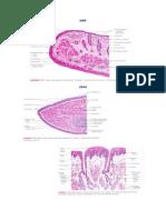 Histology Digestive