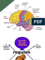 Funciones de Estomago Cerebro y Riñones