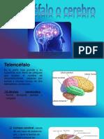 El Telecefalo o Cerebro
