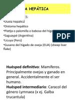 fasciola_hepatica_n
