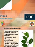 Ficus bonsai tropical