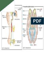 Gambar Jalur Pupil