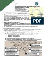 Ciclo de Krebs- Descarboxilacion Del Piruv