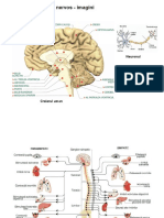 Sistemul nervos - imagini1