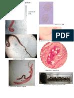 LAB ACT 10 - Schistosoma japonicum.pdf