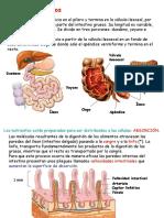 21_losintestinos-100102133902-phpapp01