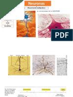 Escrito Neuronas e Impulso