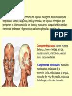 Sistema Orofacial