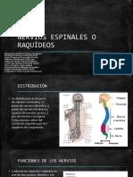 Nervios Espinales 19-2
