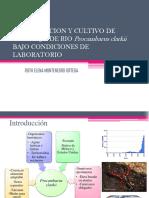 Reproduccion y Cultivo de Cangrejo de Rio Procambarus Clarkii Bajo Condiciones de Laboratorio Ruth Elena Montenegro Ortega
