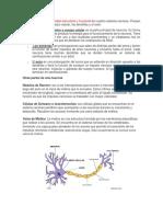 Las Neurona y Sus Partes
