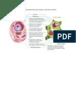 Comparación de células animal y vegetal.docx