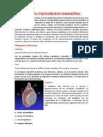 Aparato-reproductor-masculino.docx