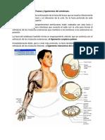 Facias y Ligamentos Del Antebrazo