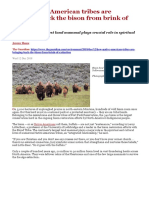How Native American tribes are bringing back the bison from brink of extinction.docx