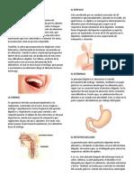 Organos Del Sistema Digestivo