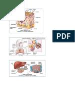 Anatomi Kulit, Paru, Hati