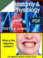 174 Anatomy Teeth and Gums