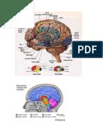 cerebro.2