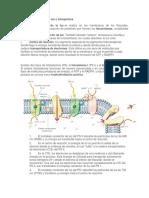 Fase dependiente de la luz o fotoquímica.docx