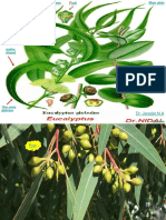 1.L.Eucalyptus.ppt