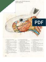 anatomia conejo.docx