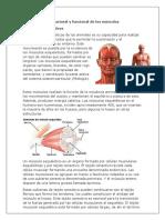 Organización Estructural y Funcional de Los Músculos