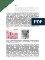 tejidoepitelialglandularexo6_1