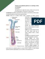 Cuál es la distribución de las glándulas gástricas en el estómago.docx