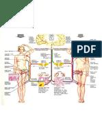 Fisiologia Anatomia