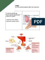 Effects Adrenal Hormones Regeb