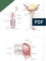 Anatomi penis.docx